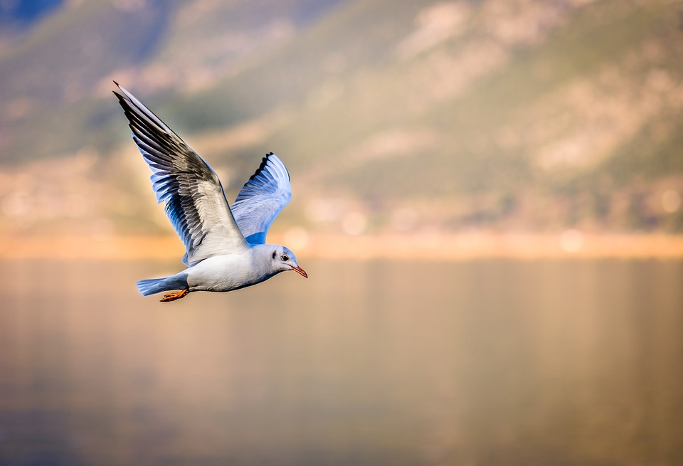 Image of a blue and white bird flying over a lake with mountains in the background.
