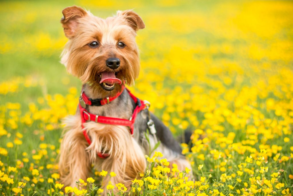 Photograph of a Yorkshire terrier in a field of yellow flowers.