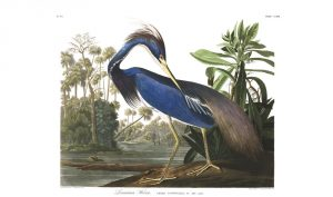 Plate 217, the Louisiana Heron
