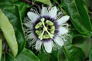passiflora-588757_1920