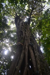 """The figs grow as tall as the host tree before """"strangling"""" it, as we see on the Monteverde Institute."""