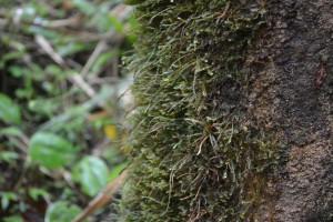 A close-up of Leucobryum glaucum moss on a tree.