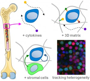 AREA2_stem cell