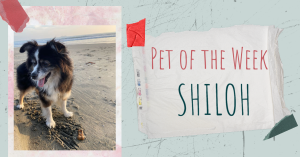 Picture of a dog on the beach and a note that says pet of the week and the dog's name Shiloh