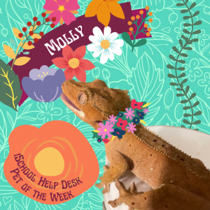 """Decorative graphic featuring a gecko sitting on a white disc. The gecko is facing away from the camera and staring off into the distance. She's a rust red color, and her mouth is partially open. Graphic reads: """"Molly; iSchool Help Desk Pet of the Week"""""""