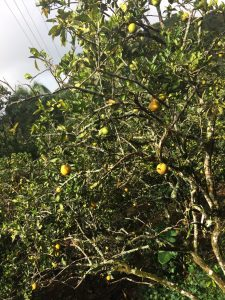 These citrus trees in Puerto Rico provide shade for one of the nations most profitable crops, coffee.
