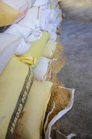 Paddy (rice) lies around bags in a processing facility in the Philippines. Credits: ADM Institute/Grace Kenney.