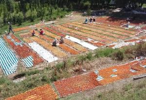 """Drying apricot at the field, Isfara, Soghd Oblast, Tajikistan / Khairullo Rizoev """"Golden fruits"""" LLC"""