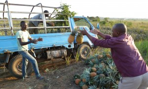 Loading pineapples in Kyanamukaaka, Maskaka, Uganda. / K. Troeger, 2015