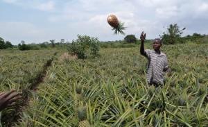 Pineapple harvesting in Kyanamukaaka, Masaka, Uganda / K. Troeger, 2015