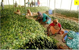 Sorting mangoes by hand in a processing plant. / photo credit: The Daily Star Weekly Magazine, 15 July 2011.