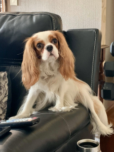 Cavalier spaniel, named Hattie, sitting on couch