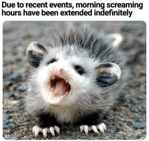 Due to recent events, morning screaming hours have been extended indefinitely [photo of baby opossum]