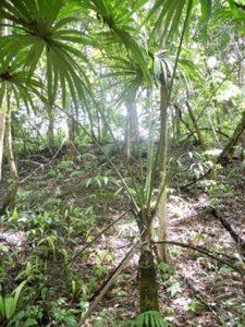 Bayleaf Palm