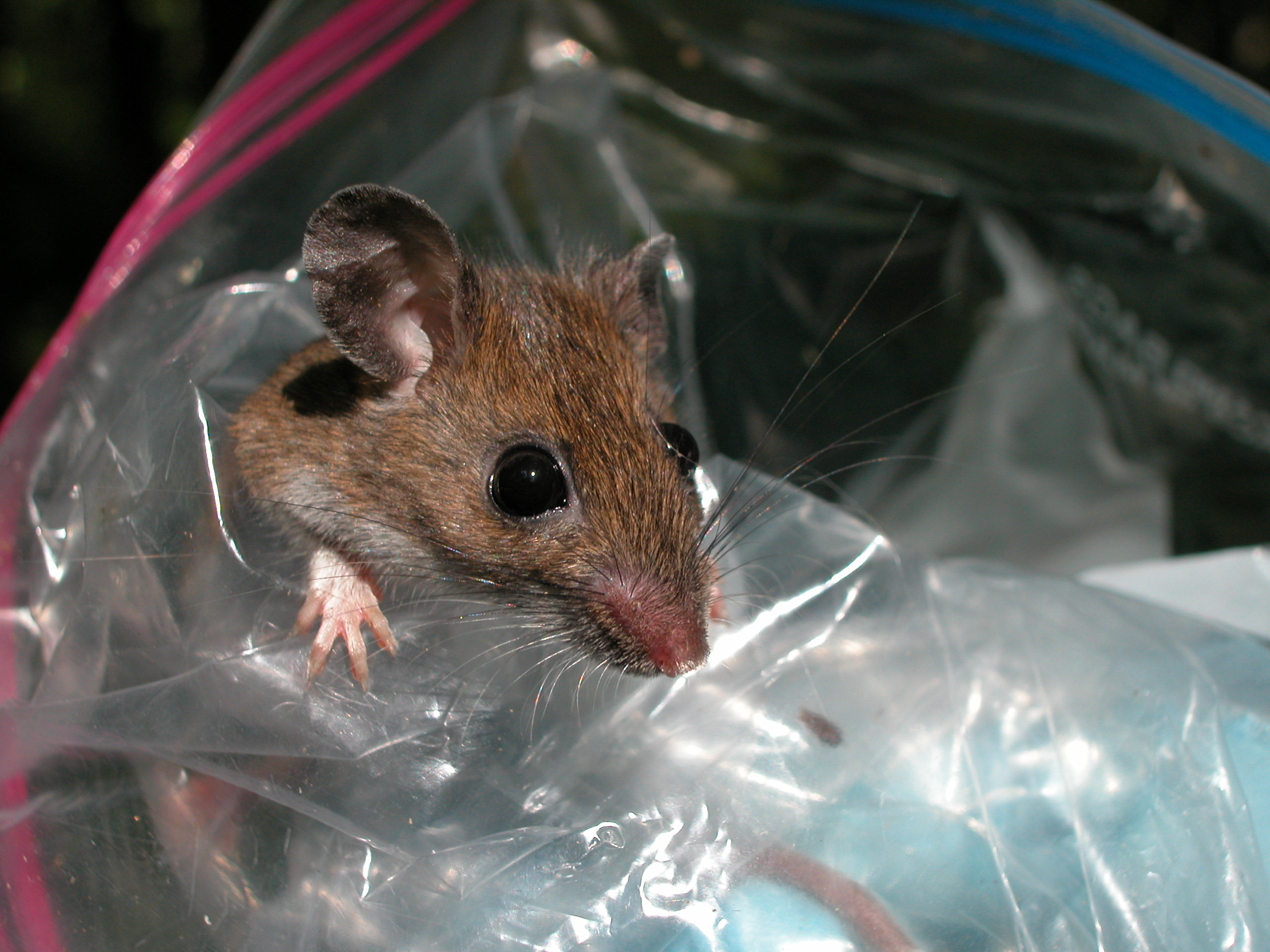 White-footed mouse - Tick collection for Lyme Disease project.