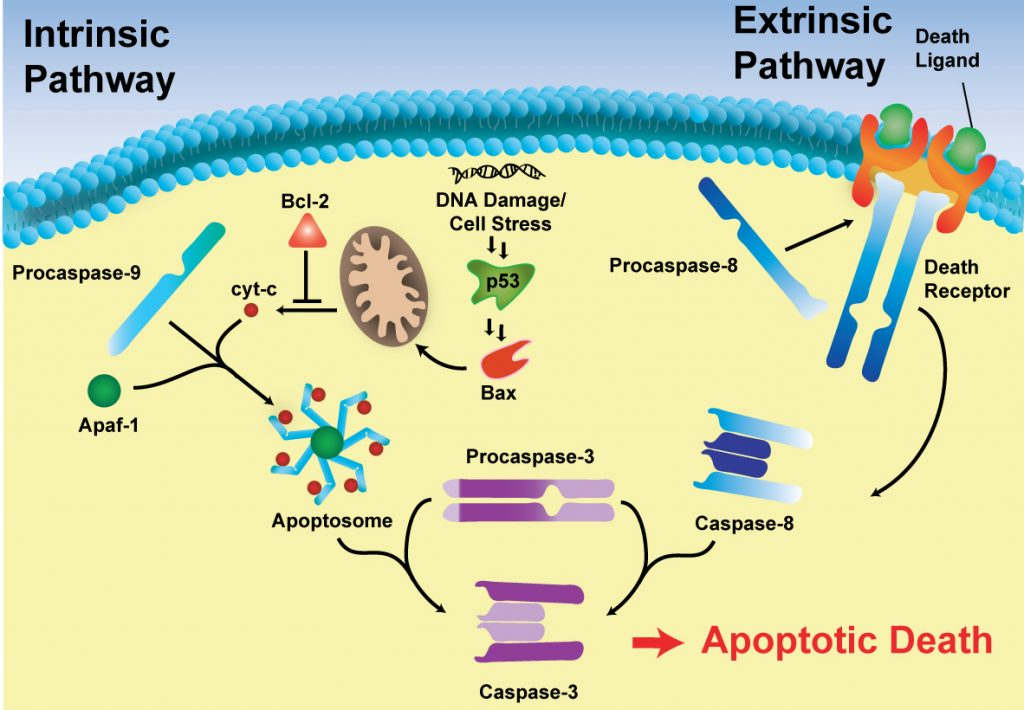 Diagram showing how cellular apoptotic pathways converge on the activation of procaspase-3, resulting in the production of active caspase-3. Caspase-3 catalyzes the hydrolysis of hundreds of cellular substrates and, once activated, rapidly induces apoptotic cell death.