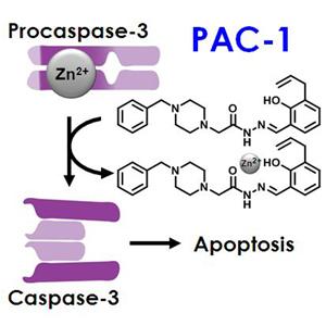 Procaspase-3 Activation