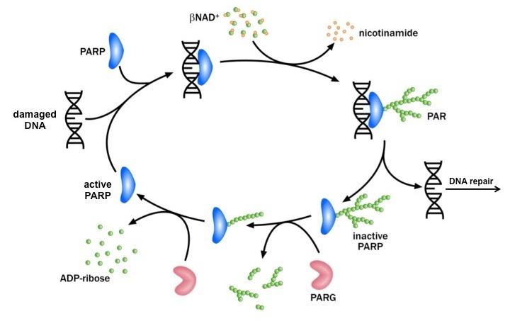 Diagram of PAR Metabolism.